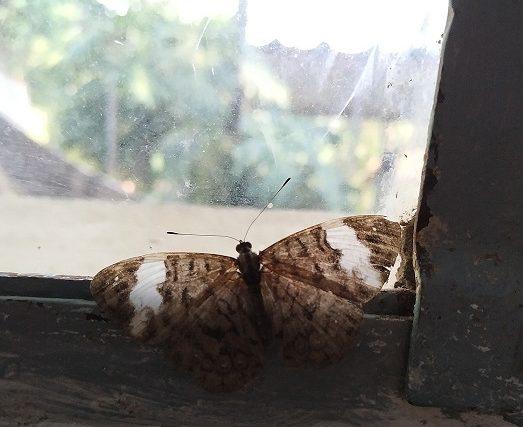 Borboletas na janela
